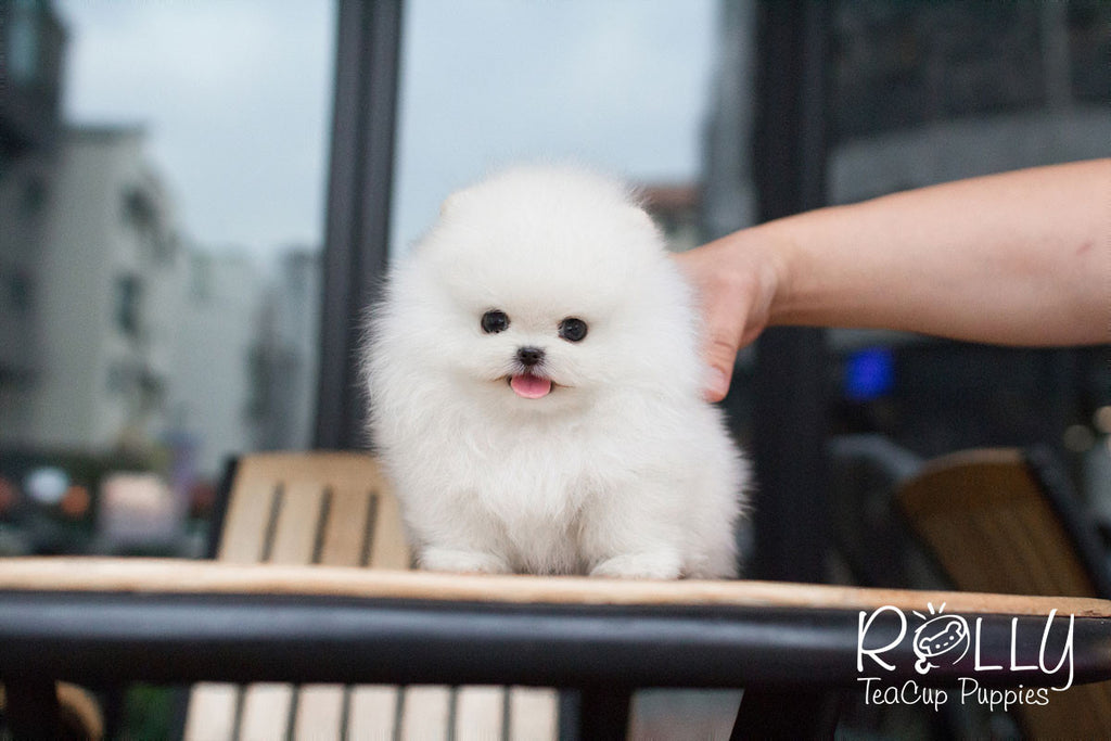 Prince Charming - Pomeranian - Rolly Teacup Puppies