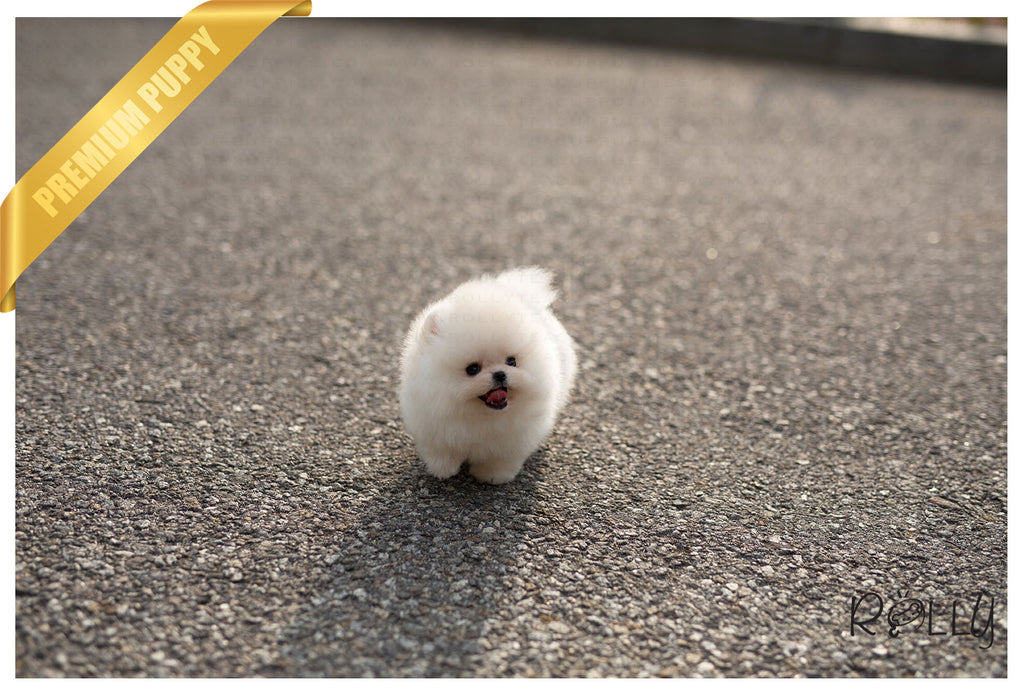 (Purchased by Cravens)Pegasus - Pomeranian. M - ROLLY PUPS INC