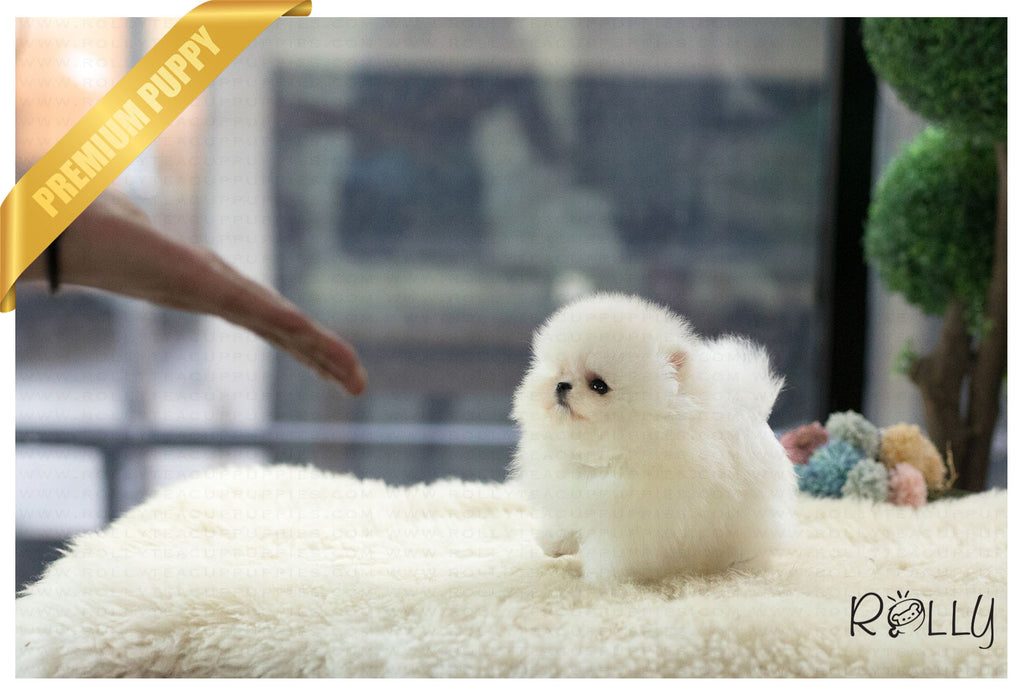(Purchased by Cravens)Pegasus - Pomeranian. M - Rolly Teacup Puppies