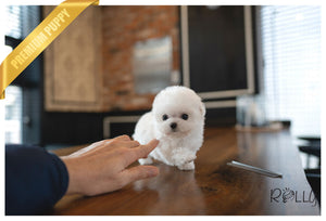 (PURCHASED by Dixon) PICO - Bichon. M - Rolly Teacup Puppies - Rolly Pups