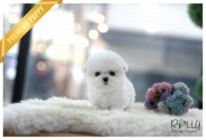 (Purchased by Woo) Popcorn - Bichon. M - Rolly Teacup Puppies - Rolly Pups