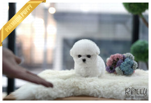 (Purchased by Woo)Popcorn - Bichon. M - Rolly Teacup Puppies