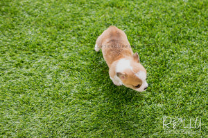 (SOLD to Margalef) Pam - Corgi. F - ROLLY PUPS INC