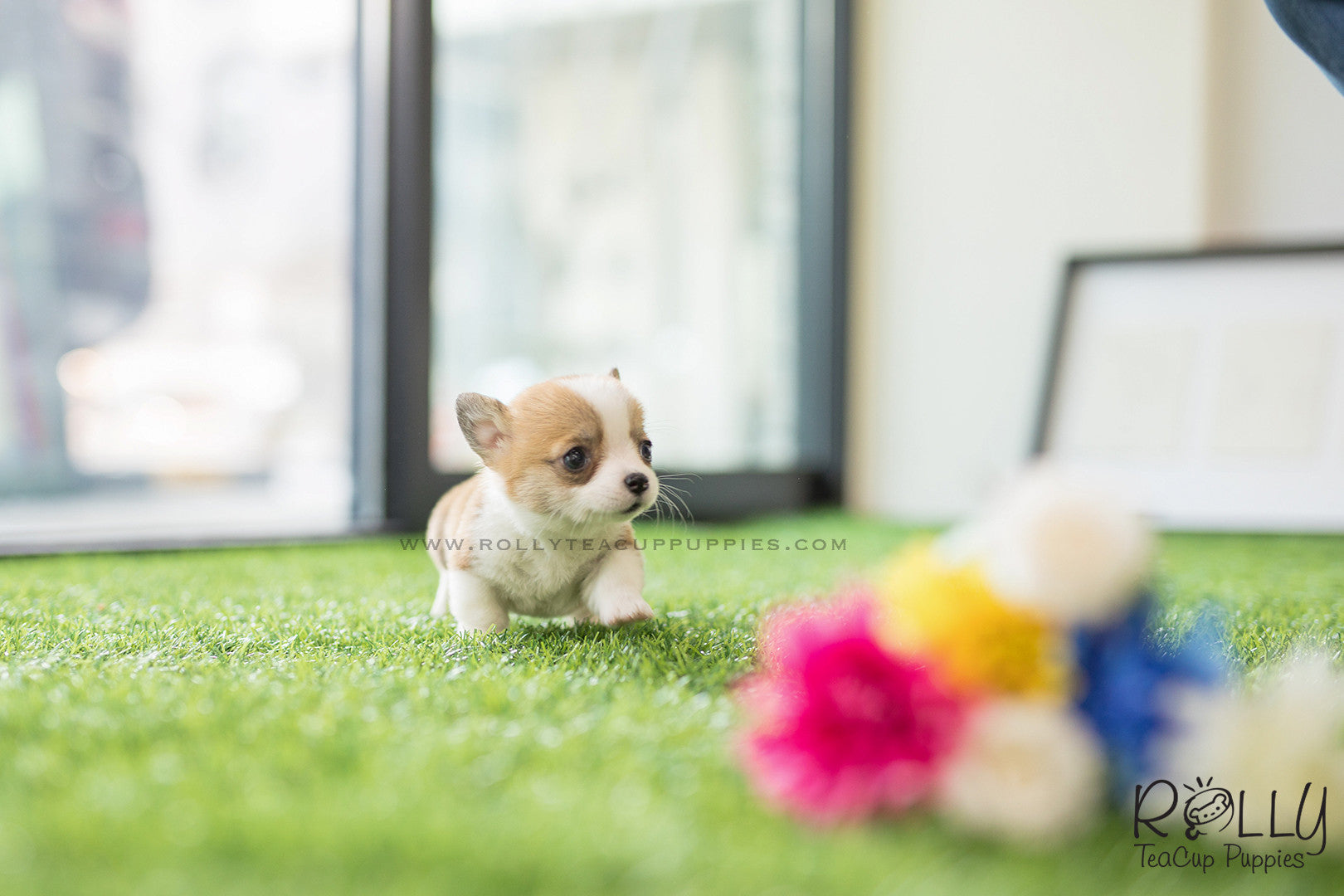 Sold To Margalef Pam Corgi F Rolly Teacup Puppies