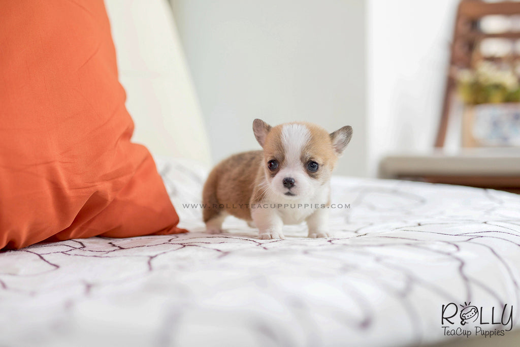 (SOLD to Margalef) Pam - Corgi. F – Rolly Teacup Puppies