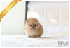 (Purchased by Centeno) Papi - Pomeranian. M - Rolly Teacup Puppies - Rolly Pups