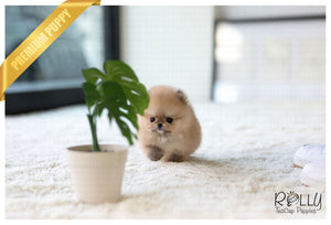 (Purchased by Centeno) Papi - Pomeranian. M - ROLLY PUPS INC