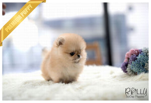 (Purchased by Centeno) Papi - Pomeranian. M - Rolly Teacup Puppies