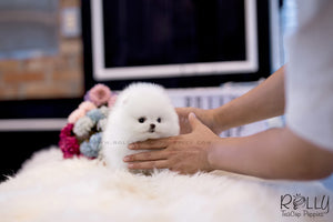 (SOLD to Castro) Paris - Pomeranian. F - Rolly Teacup Puppies