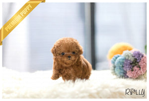 (Purchased by Alvarez) Paris - Poodle. F - Rolly Teacup Puppies - Rolly Pups