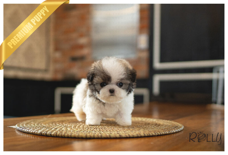 (Pending verification) MIMI - Maltipoo. F - Rolly Teacup Puppies - Rolly Pups