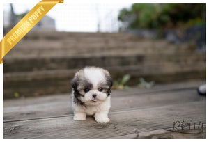 (PURCHASED by Barnett) MIMI - Maltipoo. F - Rolly Teacup Puppies - Rolly Pups