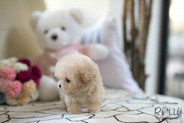 (Reserved by Roza)Peacan - Poodle. M - Rolly Teacup Puppies