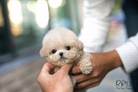 (Purchased by Roza)Peacan - Poodle. M - Rolly Teacup Puppies