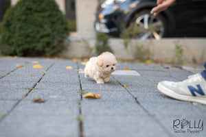 (Purchased by Roza) Peacan - Poodle. M - Rolly Teacup Puppies