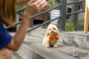 (Purchased by Moon)Peach - Golden Doodle. F - Rolly Teacup Puppies