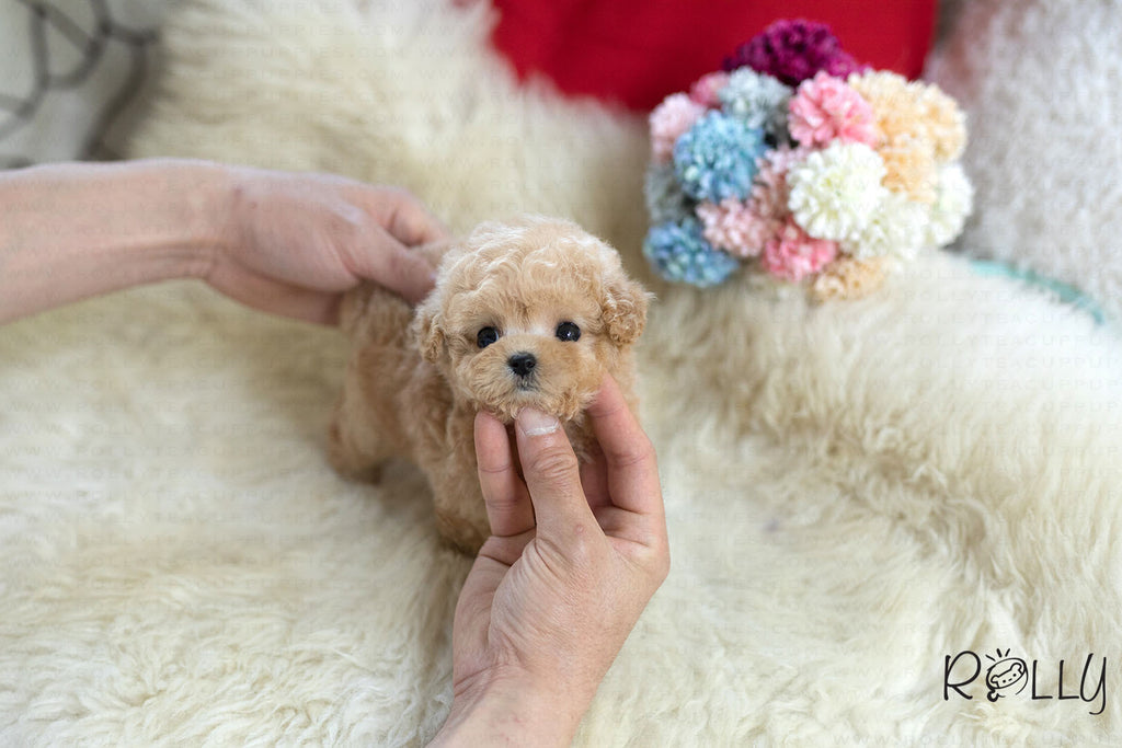 (Purchased by Steinman)Peach - Poodle. F - ROLLY PUPS INC