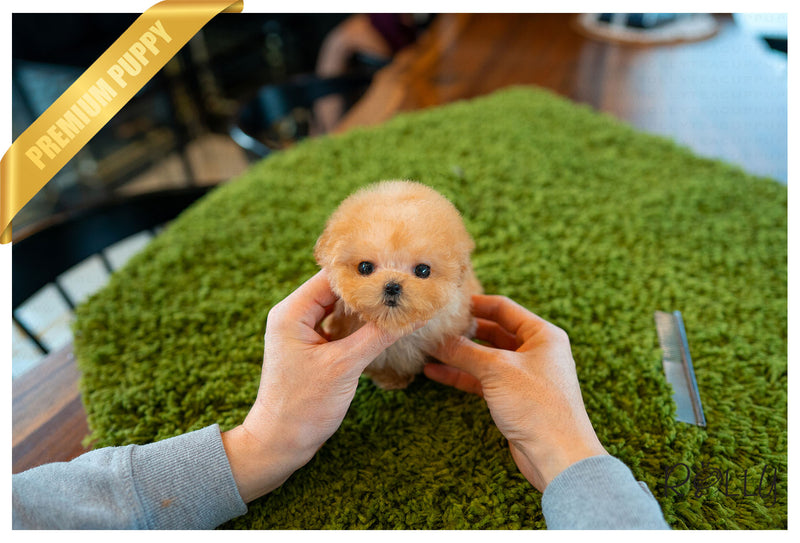(Purchased by Verbitzky)Peach - Poodle. F - Rolly Teacup Puppies
