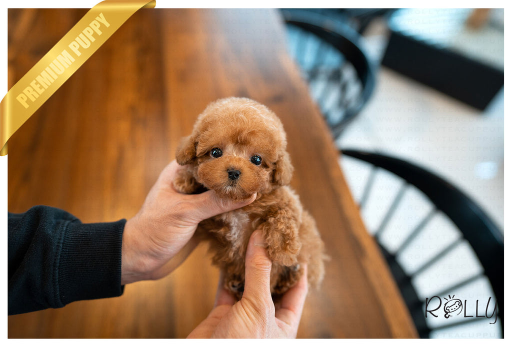 (Purchased by Cannady) PEACH - Poodle. F - Rolly Teacup Puppies - Rolly Pups