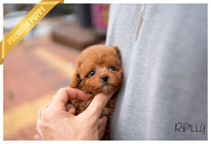 (Purchased by Cannady) PEACH - Poodle. F - Rolly Teacup Puppies