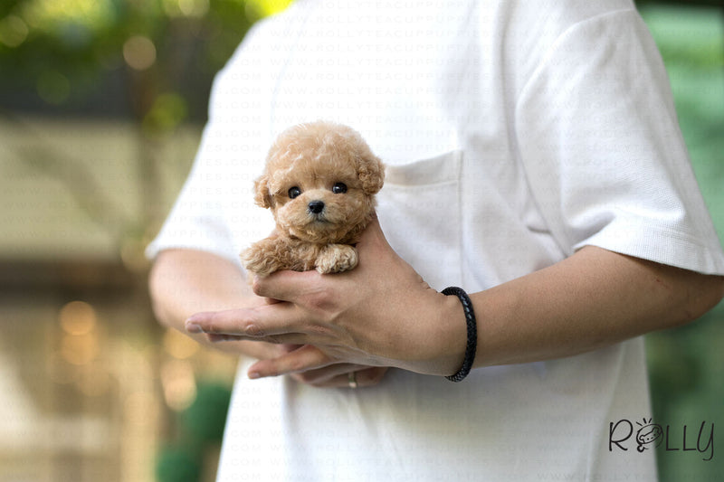 (Purchased by Steinman)Peach - Poodle. F - Rolly Teacup Puppies
