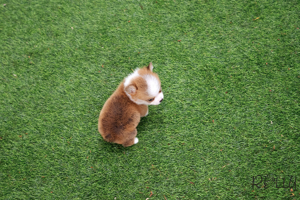 (Purchased by Nguyen) PEANUT - Corgi. M - Rolly Teacup Puppies - Rolly Pups