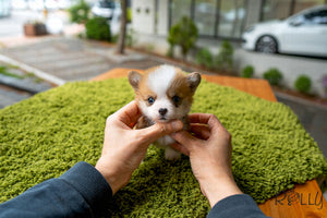 (Purchased by Nguyen) PEANUT - Corgi. M - Rolly Teacup Puppies