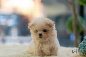 (Purchased by Yacoub) Peanut - Maltipoo. M - ROLLY PUPS INC