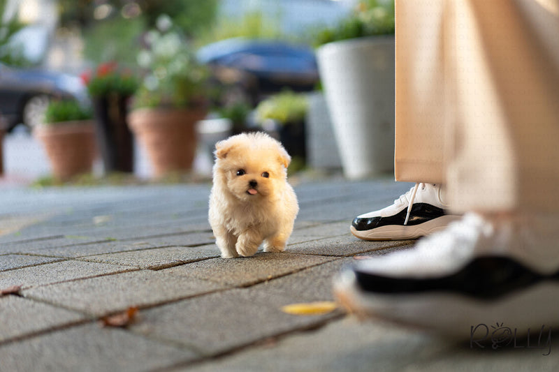 (Purchased by Yacoub) Peanut - Maltipoo. M - Rolly Teacup Puppies