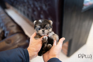 (PURCHASED by Nieves) PEANUT - Morkie. M - Rolly Teacup Puppies - Rolly Pups