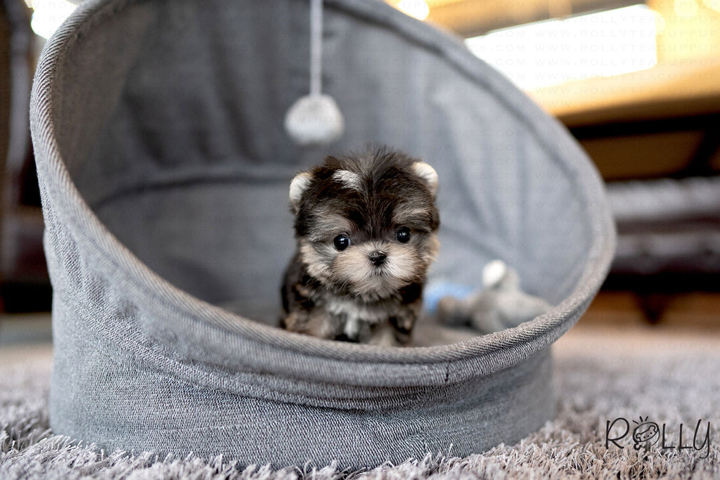 PEANUT - Morkie. M - Rolly Teacup Puppies - Rolly Pups
