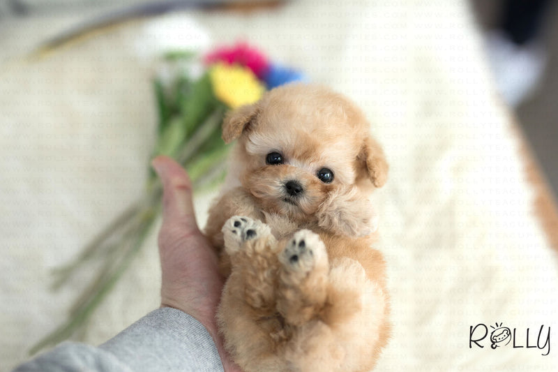 (Purchased by Yasmeen)Peanut - Poodle. M - Rolly Teacup Puppies