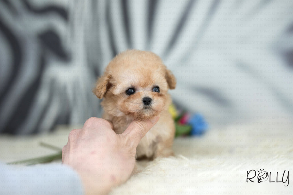 (Purchased by Yasmeen)Peanut - Poodle. M - ROLLY PUPS INC