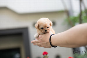 (Purchased by Yasmeen)Peanut - Poodle. M - Rolly Teacup Puppies - Rolly Pups