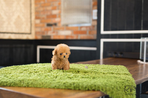 (PURCHASED by Song) Peanut - Poodle. M