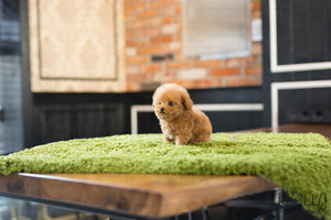 (Purchased by Song) Peanut - Poodle. M - Rolly Teacup Puppies - Rolly Pups