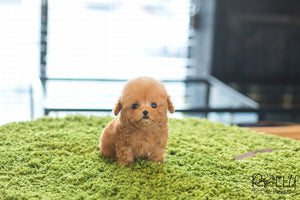 (Purchased by Song) Peanut - Poodle. M - Rolly Teacup Puppies