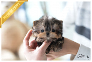 (Purchased by Tim) Peanut - Yorkie. M - Rolly Teacup Puppies - Rolly Pups