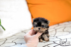 (Purchased by Pellas) Peanut - Yorkie. M - Rolly Teacup Puppies