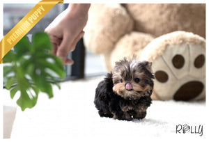 (Purchased by Tim) Peanut - Yorkie. M - Rolly Teacup Puppies