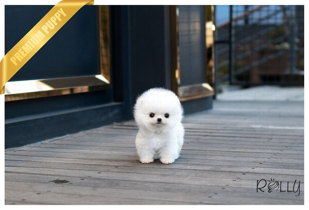 (Reserved by VIP)Pearl - Pomeranian. F - Rolly Teacup Puppies