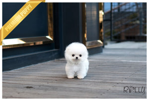 (PURCHASED by VIP)Pearl - Pomeranian. F - Rolly Teacup Puppies