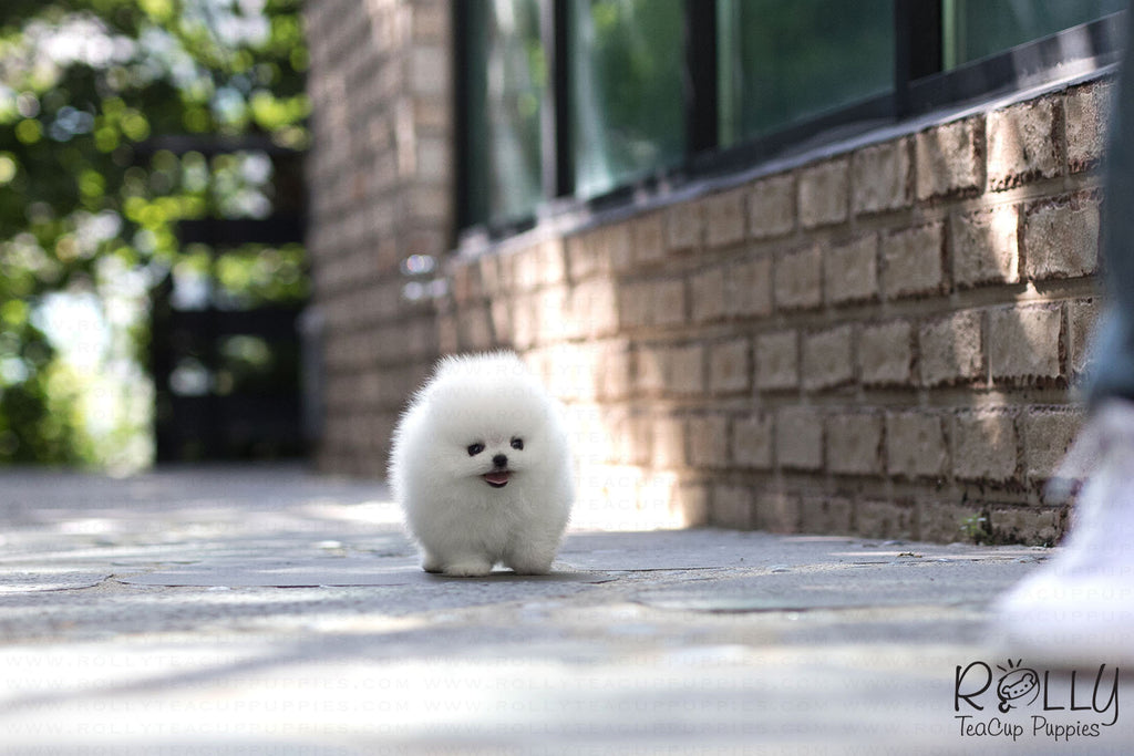 (Purchased by Cojab) Pearl - Pomeranian. F - ROLLY PUPS INC