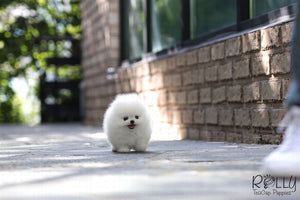 (Purchased by Cojab) Pearl - Pomeranian. F - Rolly Teacup Puppies