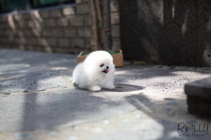 (Purchased by Cojab) Pearl - Pomeranian. F - Rolly Teacup Puppies - Rolly Pups
