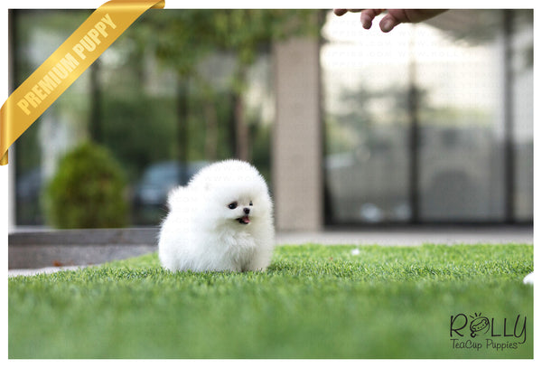 (Sold to Chen) Pearl - Pomeranian. F - Rolly Teacup Puppies