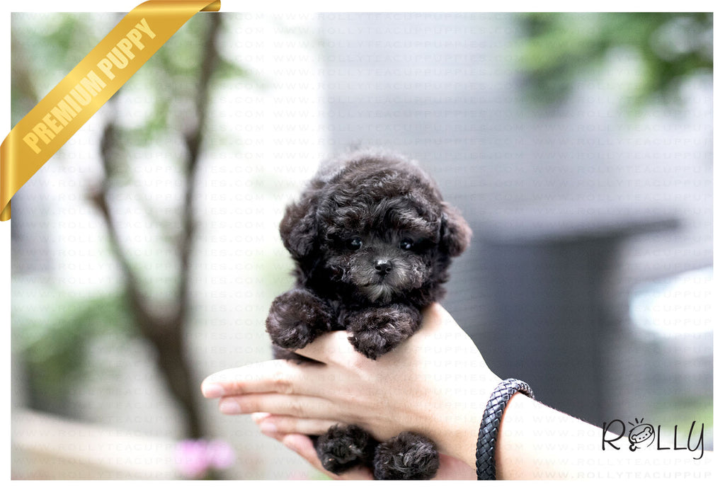 (Purchased by Ordorica) Pebbles - Poodle. F - Rolly Teacup Puppies