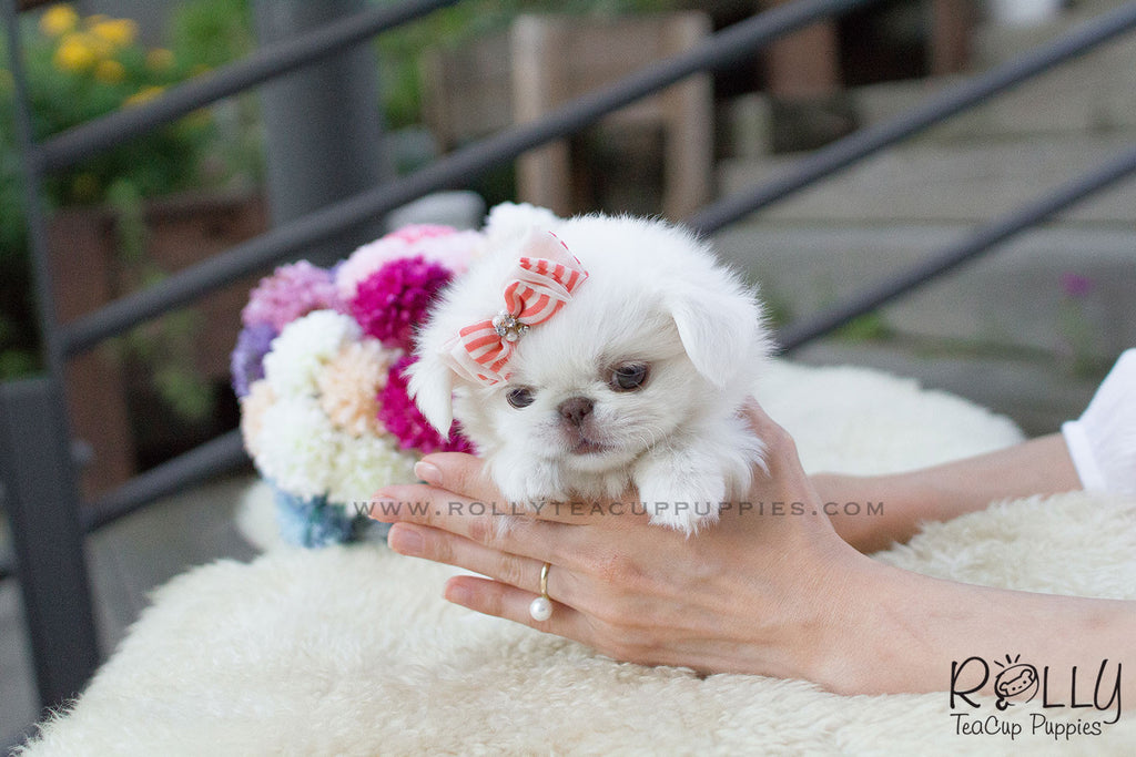KiKi - Pekingese. F - Rolly Teacup Puppies - Rolly Pups
