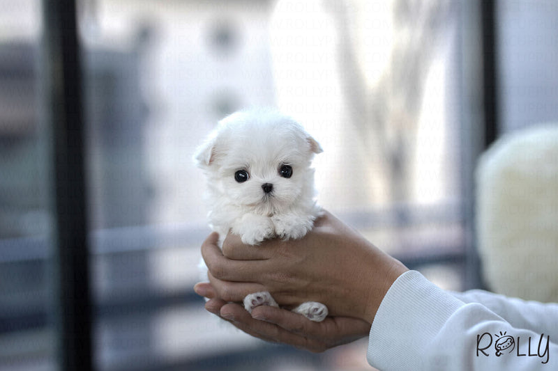 (Purchased by Andrea) Penelope - Maltese. F - Rolly Teacup Puppies