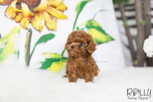 (SOLD to Qian) Penny - Poodle. F - ROLLY PUPS INC
